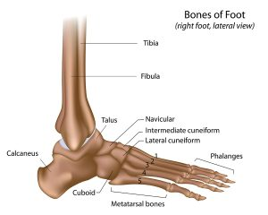 Illustration of the anatomy of the foot, including the navicular